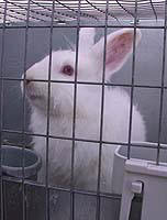 Rabbit_for_sale
